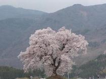 春:わに塚の桜