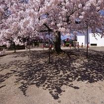 桜が咲き誇る彦根城敷地内