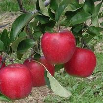 りんご狩り写真