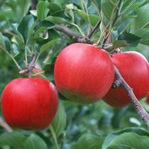 福島の美味しいリンゴ