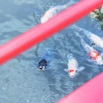 『出逢い橋』では池の鯉ちゃんたちもお出迎え♪