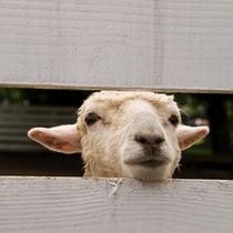 グリーン牧場の羊