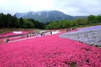 秩父 羊山公園芝桜