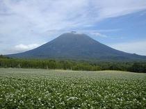 満開の芋畑と羊蹄山A