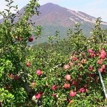 よませ産 リンゴ