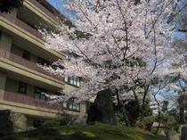【庭園・桜2】