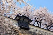 金沢城さくら