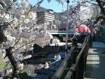 桜 有馬川の遊歩道
