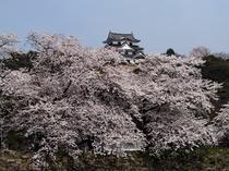 彦根城桜満開