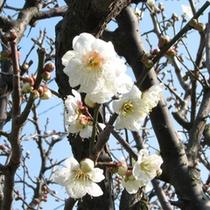 偕楽園を舞台に春の訪れを告げる梅まつり(〜3月31日)