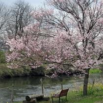 *春には満開に咲き誇る100本の桜が見られます!