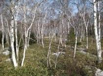 白樺林 初春