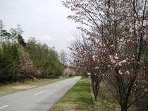 山桜 5.1