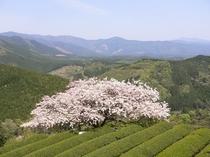 天空に咲く「遠山桜」