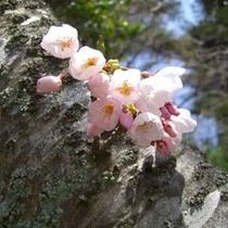 摩耶山に咲く山桜
