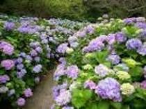紫陽花の【芦刈園】