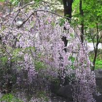 *しだれ桜