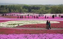 富士芝桜祭り【4月~5月】