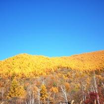 ■11月カラマツの黄葉