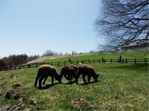 まきば公園内は季節により、動物達が放牧されております。
