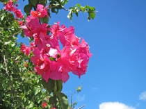 【ブーゲンビリア】宮古島で一年中見ることができるブーゲンビリア。青い空によく映えます♪