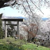 桜の名所・烏帽子山公園(南陽市赤湯)