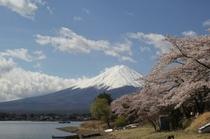 富士に桜(河口湖)4月上中旬