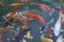 喜仙庭園:鯉