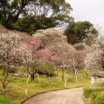 1万4千坪の緩やかな起伏の園内は遊歩道が整備され、散策しながら梅鑑賞をお楽しみいただけます!