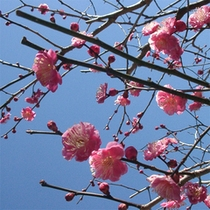熱海梅園の梅は日本一の早咲き!11月下旬には開花します、凄いですよね。