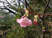 河津桜咲き始める