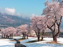 ゲレンデ上に咲く舞子の桜(当ロッヂから徒歩約5分)