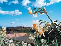 12月20日から1月31日まで水仙まつりが開催される爪木崎と灯台