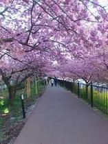 河津川のすぐそばに咲く河津桜。まるいから車で10分ほどで着きます。