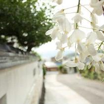 藤の花(正)