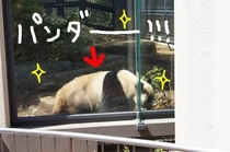 上野動物園に新しく来たパンダ