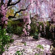 退蔵院(桜の絨毯)