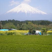 *【風景】茶畑と富士山。当館ならでは風景を見ることができます。