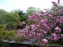 【玄関前の八重桜が満開♪】