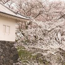 春:霞城公園の桜(4月)03