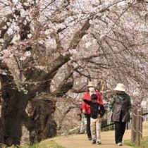 春:霞城公園の桜(4月)02