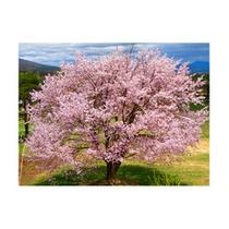 *ちょっと遅めの春、ゴールデンウィークに見ごろをむかえます!!満開の桜が皆様をお待ちしております!/