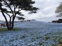 ひたち海浜公園(春・ネモフィラ)