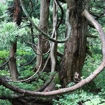 【自然】大佐渡石名天然杉 象牙杉