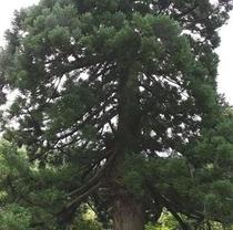 【自然】大佐渡石名天然杉 大黒杉