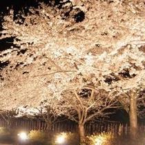 【イベント】4月 佐渡金山夜桜ライトアップ