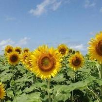【観光】8月 小川のひまわり畑