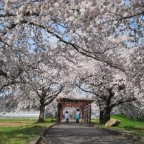 ■観光:まほろばの緑道:高畠駅を起点に約6kmサイクリングロード沿線には約700本の桜並木♪散策に最