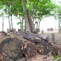 サイカチの木はカブト虫の大好きな樹液がたっぷり