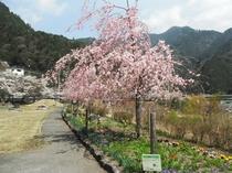 六郎木の枝垂桜